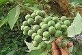 Solanum mauritianum - Wild tobacco tree - at Ooty 2014 (19).jpg