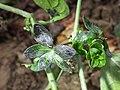 Solanum nigrum subsp. nigrum sl43.jpg