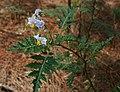 Solanum sisymbriifolium 2.jpg