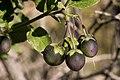 Solanum xanti - Flickr - aspidoscelis (2).jpg
