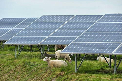 Solar panels with sheep in Belgium.jpg