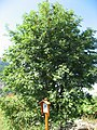 Sorbus aucuparia 01 by Line1.jpg