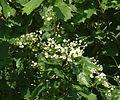 Sorbus torminalis 190513.jpg