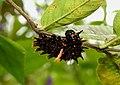 Southern Birdwing Troides minos Caterpillar by Dr. Raju Kasambe DSCN7370 (11).jpg
