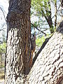 Southern flying squirrel on tree closeup 2.jpg