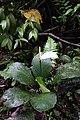 Spathiphyllum cannifolium (Araceae) (30053637751).jpg