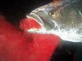 Spearfisher bleeds fish.jpg