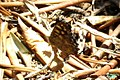 Speckled wood (MakGi) (35556034530).jpg