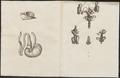 Spermophilus spec. - schedel en ingewanden - 1700-1880 - Print - Iconographia Zoologica - Special Collections University of Amsterdam - UBA01 IZ20400122.tif