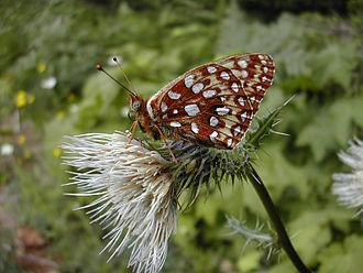 Speyeria zerene hippolyta - Image: Speyeria zerene hippolyta
