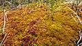 Sphagnum lindbergii.jpg