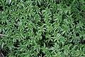 Sphagnum palustre (a, 150136-481739) 8883.JPG