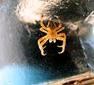Spider-yellow-hanging-0a.jpg