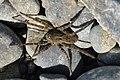 Spider (Araneae) - Witless Bay, Newfoundland 2019-08-12 (01).jpg