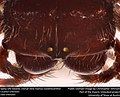 Spiny orb-weaver, Dorsal view (Genus Gasteracantha) (22125023226).jpg