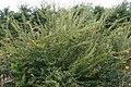 Spiraea prunifolia Plena 2zz.jpg
