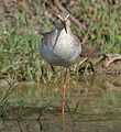 Spotted Redshank (Tringa erythropus)- Resting on one leg at Bharatpur I IMG 5739.jpg