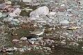 Spotted Sandpiper (9314395601).jpg