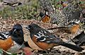 Spotted Towhee From The Crossley ID Guide Eastern Birds.jpg