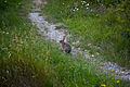 Spring-peter-cottontail-rabbit-bunny-trail - West Virginia - ForestWander.jpg