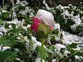 Spring snow and flower - panoramio.jpg