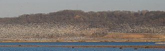 Loess Bluffs National Wildlife Refuge - Snow Geese against the Loess Hills