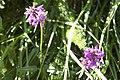 Stachys officinalis-4338.jpg