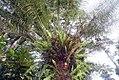 Stangeria eriopus 5zz.jpg