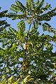 StarGooseberry PhyllanthusAcidus 0942.JPG