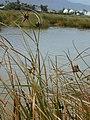 Starr-010209-0277-Bolboschoenus maritimus-habit-Kanaha pond-Maui (24504966046).jpg