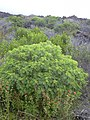 Starr-040331-0063-Senna gaudichaudii-habit-Kanaio-Maui (24582642122).jpg