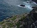 Starr-050404-0066-Eleusine indica-habitat-Hulu-Maui (24445987950).jpg