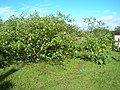 Starr-060306-6596-Solanum torvum-habit-Haiku-Maui (24858192415).jpg