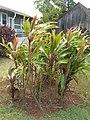 Starr-060916-8958-Cordyline fruticosa-habit-Makawao-Maui (24771973951).jpg