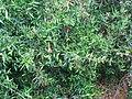 Starr-090430-6734-Olea europaea subsp cuspidata-flowers and leaves-Kula-Maui (24953231545).jpg