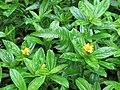 Starr-090618-1053-Sphagneticola trilobata-flowers and leaves-Hana Hwy-Maui (24338620123).jpg