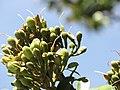 Starr-090720-3208-Hymenaea courbaril-flower buds and leaves-West Main Wailuku-Maui (24674890330).jpg