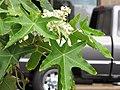 Starr-090806-3838-Aleurites moluccana-dissected leaves and flowers-Wailuku-Maui (24675885720).jpg