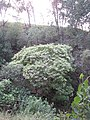 Starr-091029-8725-Aleurites moluccana-habit in gulch-Olinda-Maui (24619610159).jpg