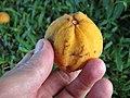 Starr-091104-9038-Sandoricum koetjape-fruit in hand-Kahanu Gardens NTBG Kaeleku Hana-Maui (24869407772).jpg