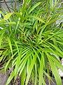 Starr-110215-0996-Chrysalidocarpus lutescens-habit-KiHana Nursery Kihei-Maui (24779542350).jpg