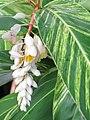 Starr-110330-3651-Alpinia zerumbet-variegated leaves and flowers-Garden of Eden Keanae-Maui (25080575315).jpg