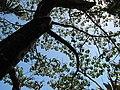Starr-110330-4232-Ochroma pyramidale-canopy and trunk-Garden of Eden Keanae-Maui (24450766194).jpg