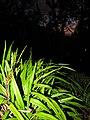 Starr-110422-5198-Dianella sandwicensis-habit at night-Hawea Pl Olinda-Maui (24456017493).jpg