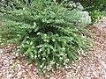 Starr-110621-6288-Lippia micromera-flowering habit-Hawea Pl Olinda-Maui (24466623774).jpg