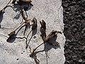 Starr-120403-4087-Aloe arborescens-seed capsules-Kula-Maui (24842753950).jpg