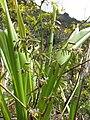 Starr-120425-4842-Dianella sandwicensis-form multipedicellata-Waikapu Valley-Maui (24509080704).jpg