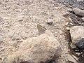 Starr-121031-0569-Ulex europaeus-habitat with bean butterfly Lampides boeticus mudding-Waikamoi Flume Rd-Maui (25168988246).jpg