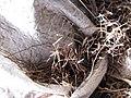 Starr-121219-1188-Heteropogon contortus-seeds in sacks-LZ Squid-Kahoolawe (24830803589).jpg