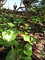 Starr-130110-1415-Thespesia populnea-seedlings with Forest-Waihee Beach Park-Maui (25204435345).jpg